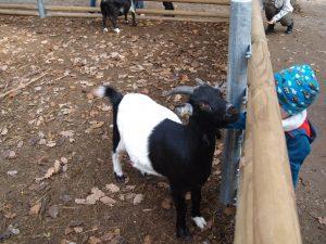 Ziegen im Tierpark Sommerhausen